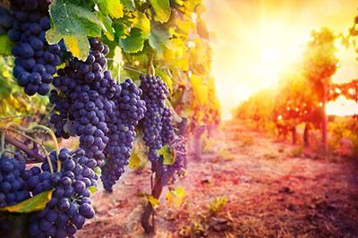 Wineries CPA Petaluma